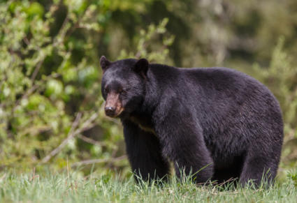 What to do if you encounter a Black Bear this Spring